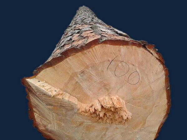 pine_100_2